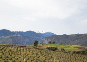The vineyard of the Acheon Winery