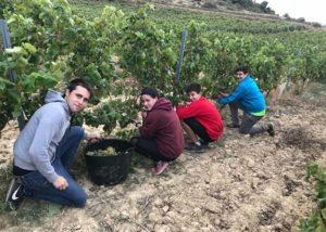 Alútiz Vinos (Bodegas Pascual Berganzo)_Greape harvest_6