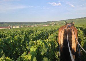 Champagne Chapuy - Horse in vineyard