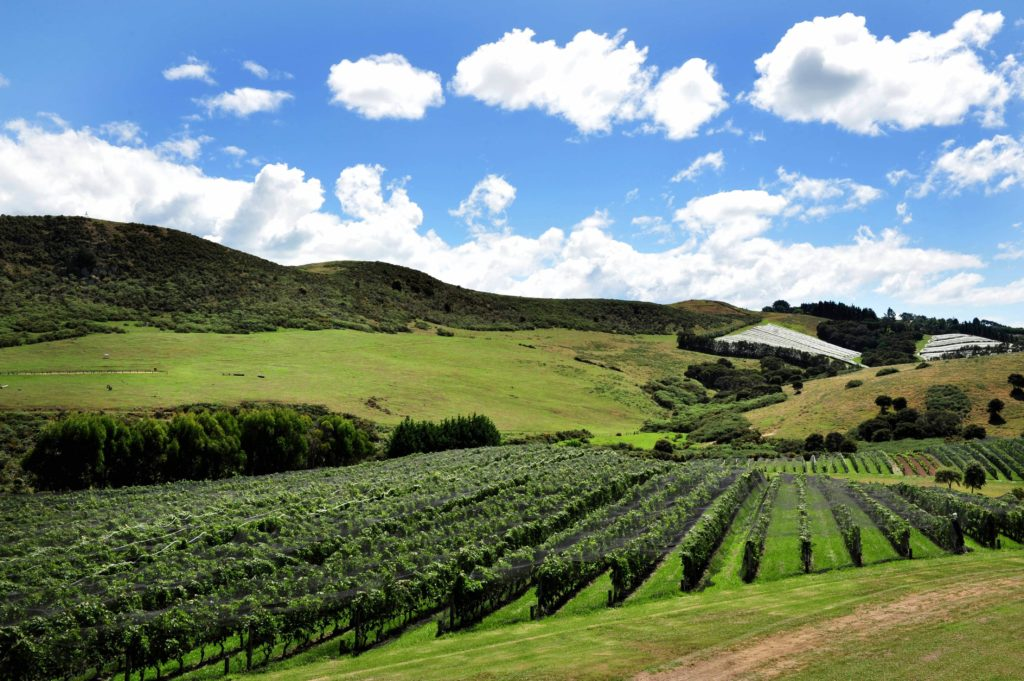 The view on the vineyard of Waiheke Island in the Auckland region