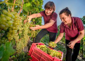 Azienda Agricola Cascina Pian D'or_grape harvest