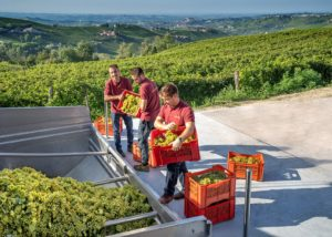 Azienda Agricola Cascina Pian D'or_grape sorting