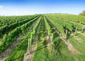 The vineyard of Black Chalk