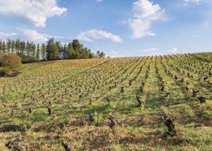 Bodegas y Viñedos Gancedo_vineyard_3