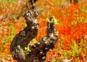 Bodega Cerro San Cristobal - vine stock