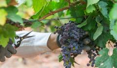 Bodega Cerro San Cristobal - black grape