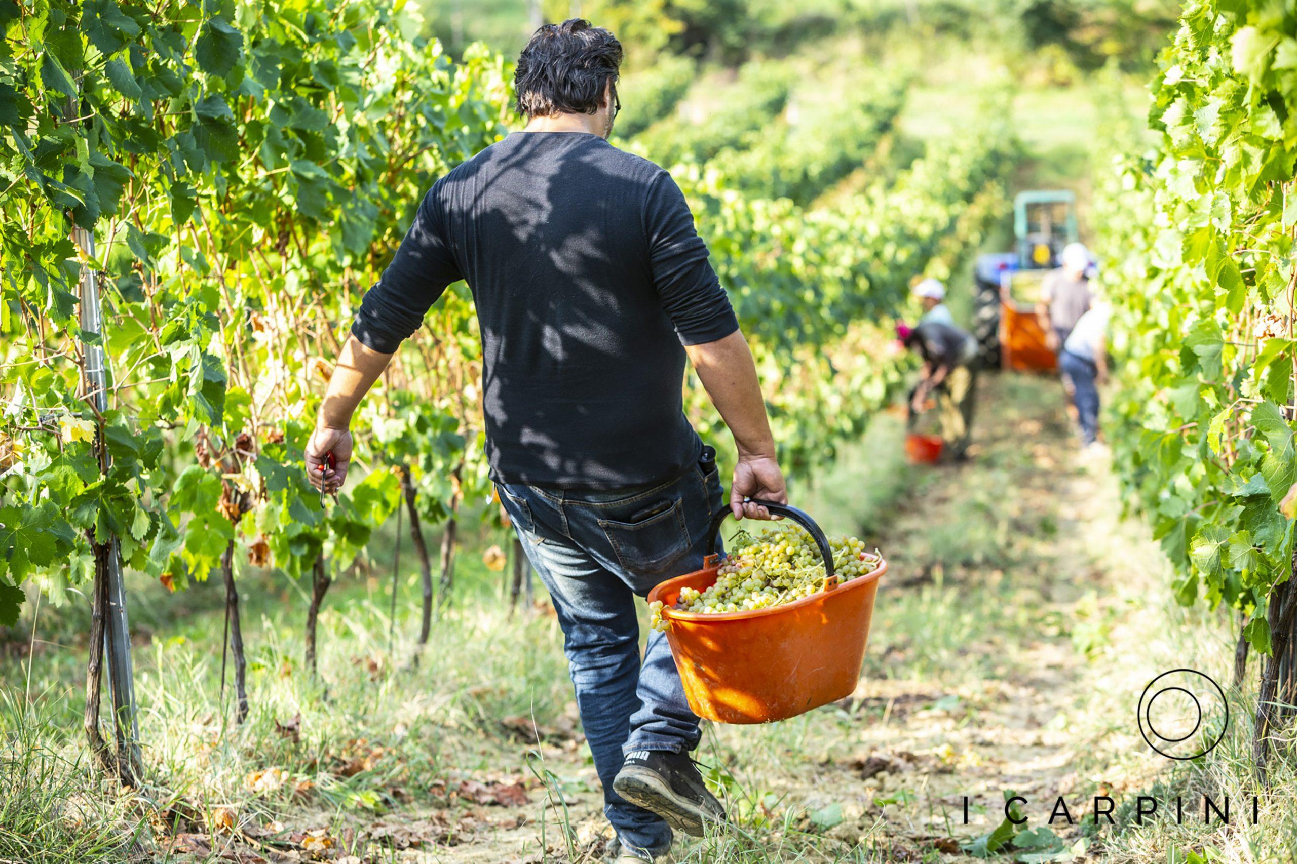 Cascina I Carpini_grape harvest