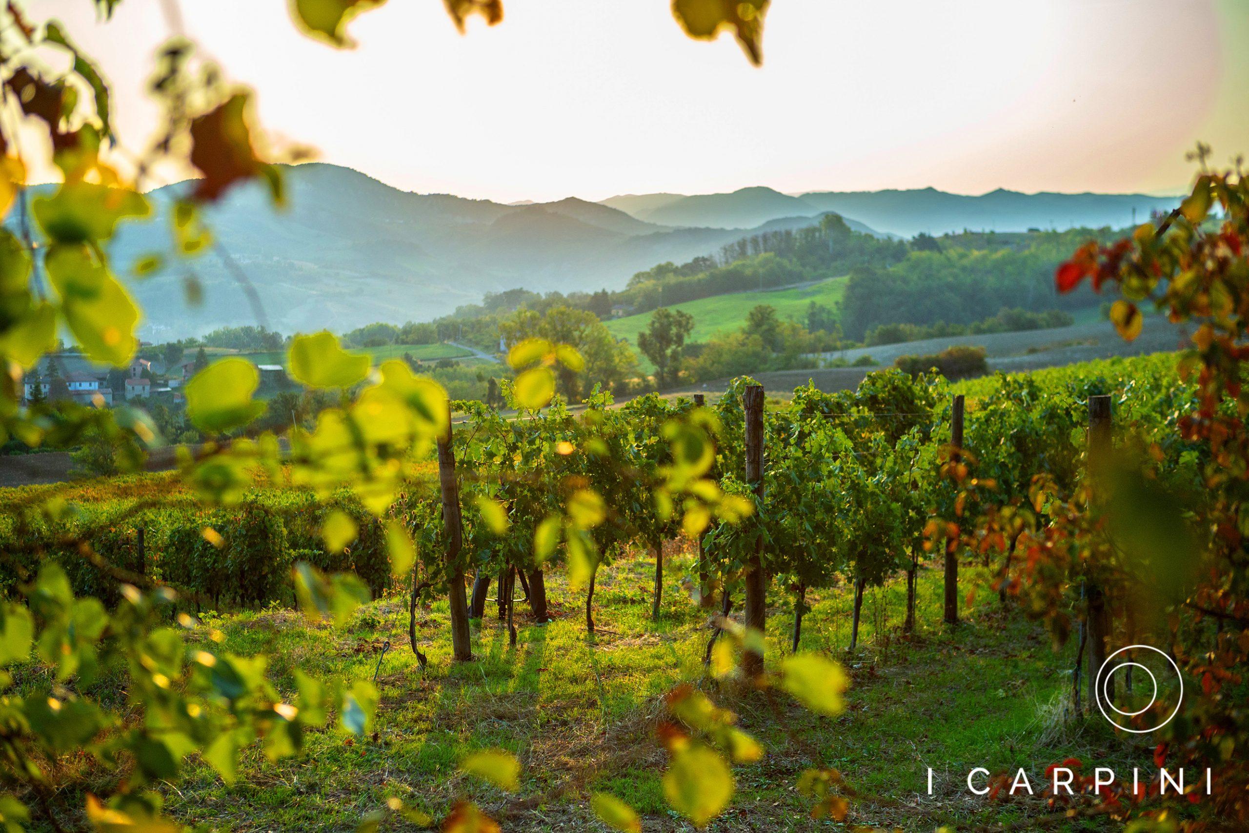 Cascina I Carpini_sunkissed vineyard