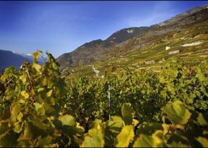 Domaine Jean-René Germanier_autumn in vineyard_2