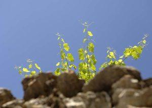 Domaine Jean-René Germanier_vines growing on the rock_7