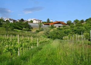 Edi Simčič Wine Estate__vineyard_Yes905_5
