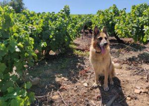 Bodega Y Vinedos Hija De Anibal - Dog in the vineyards