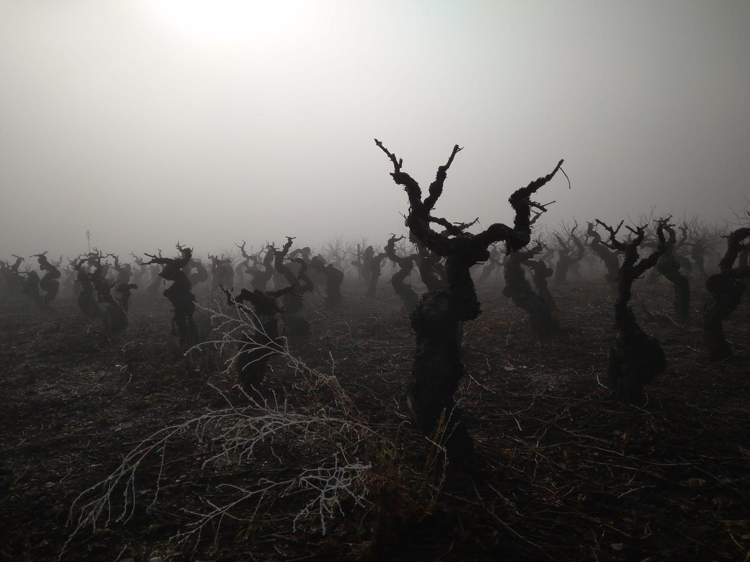 Bodega Y Vinedos Hija De Anibal - Fog