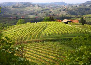 Istenič lush and amazing vineyard near winery in lovely slovenia