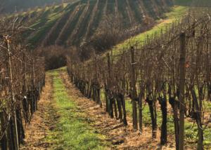 Istenič slender rows of amazing grapevines on vineyard near winery in slovenia