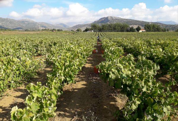 The view of the Koroniotis Winery vineyards