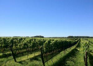 A view of the vineyard at Paumanok Vineyards