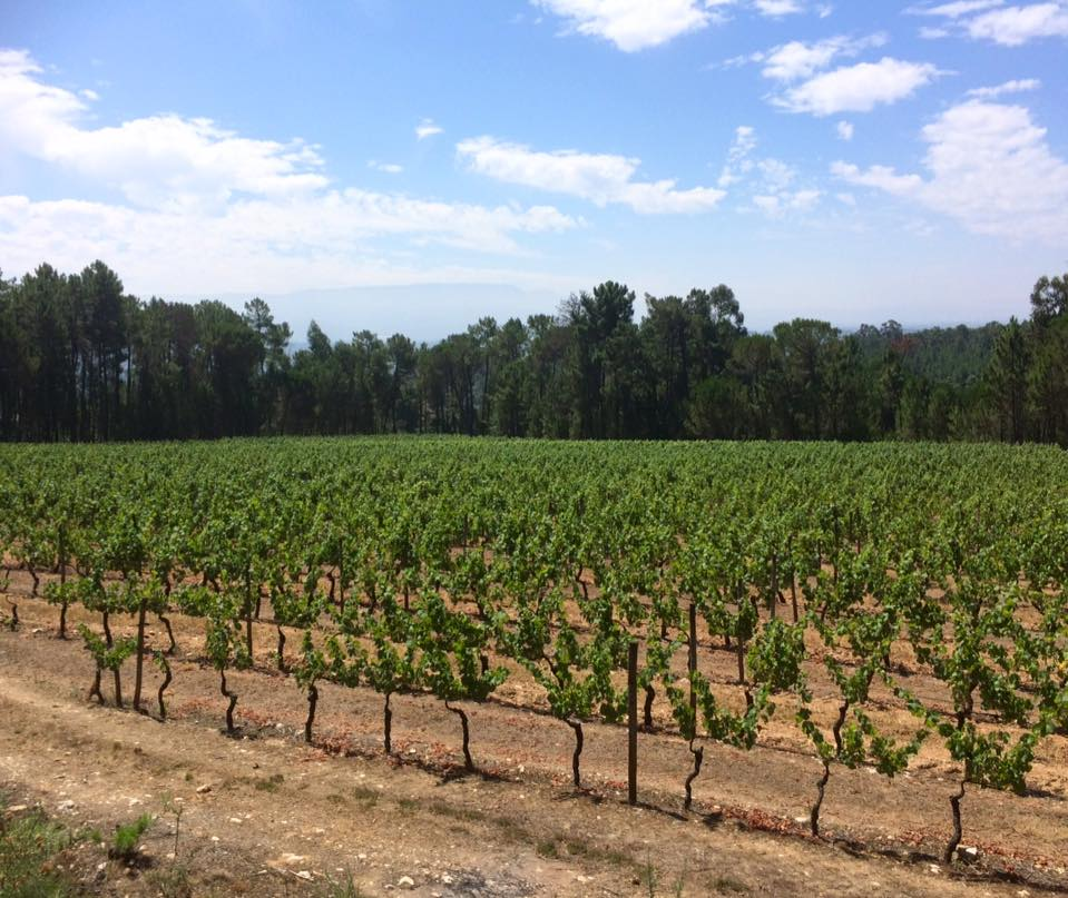 The young vines of the Quinta Dos Roques
