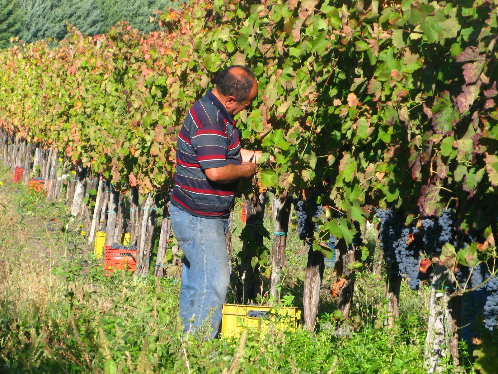 winemaker at Stefania Barbot vineyard at work
