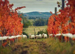 Viña Edén_Sheep in the vineyard