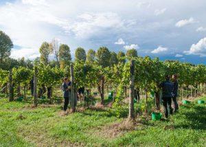 Villa Vitas_grape harvest_9