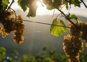 Vina Poljšak__sunkisssed grape bunch_6