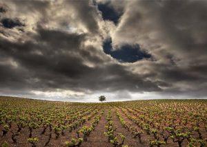 Vinos Guerra_wide view of the vineyard