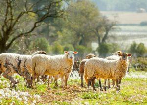 Ollieux Romanis - sheeps in vineyard