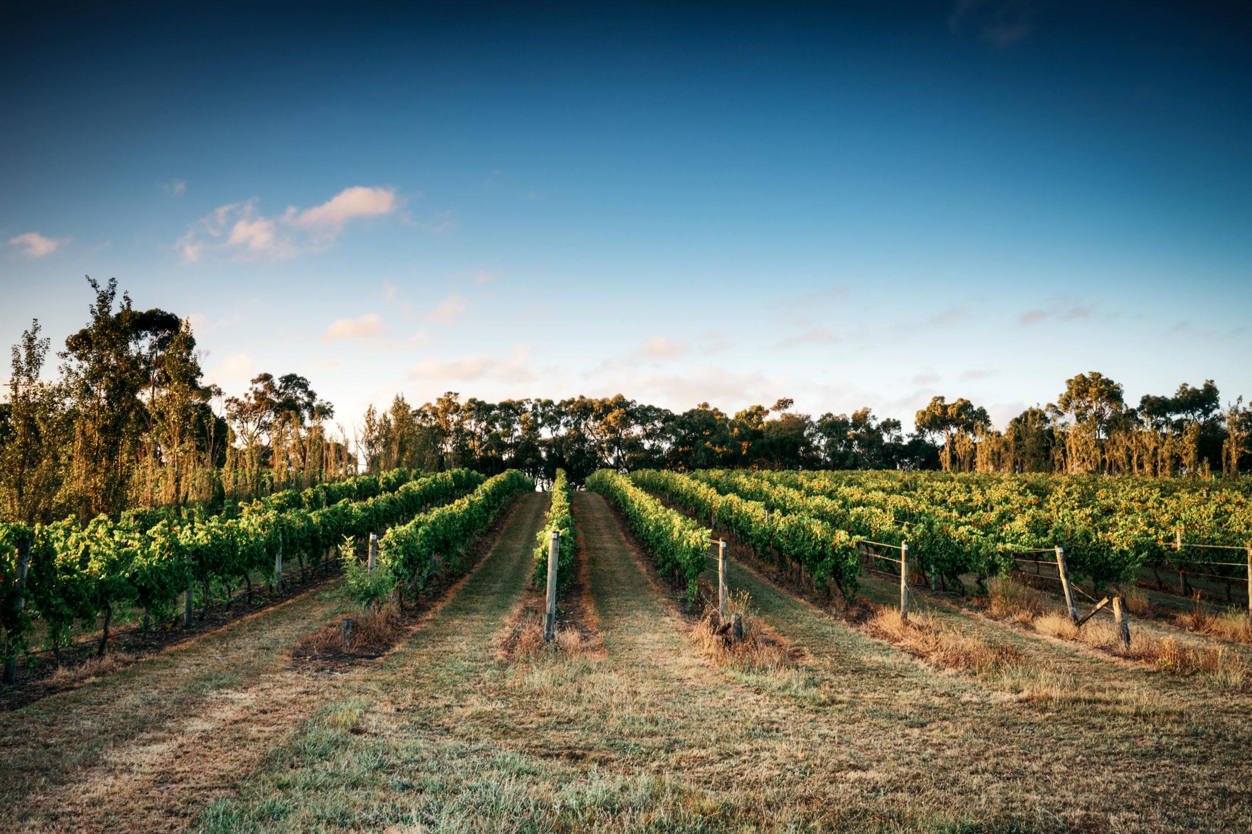 Webp.Scotchmans Hill - Day Vineyards
