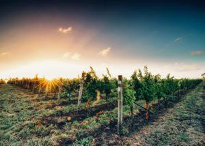 Vineyard Summer Sunset vineyards