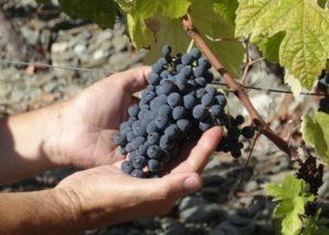 quinta da sequeira - black grape variety