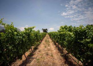 Longridge - vineyards