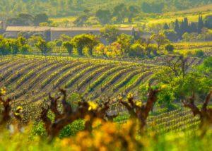 Ollieux Romanis - vineyard