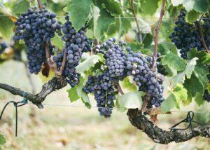 Baraka Winery - grape variety
