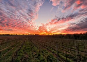 Baraka Winery - vineyard & sunset