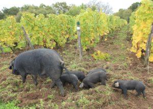 Château de Tracy - pigs in vineyard