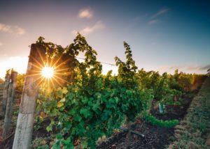Scotchmans Hill - Vineyard Summer Sunset