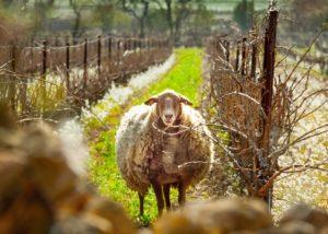 Ollieux Romanis - one sheep in vineyard