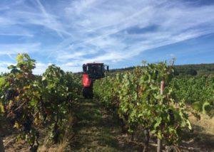 Black grapes ready for harvest in the vineyard of the Weingut Hof Breitenstein