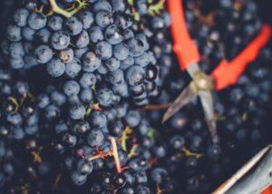 WeingutHauck grapes