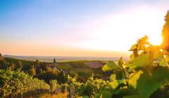 The vineyard of the Weinmanufaktur Gengenbach-Offenburg at sunset