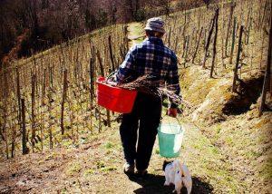Viticoltori Associati di Vinchio Vaglio Serra winemaker at work around the vineyard