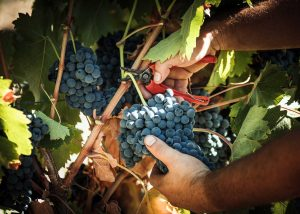 winemaker at work on vineyard of Tenute Lombardo winery gathering grapes