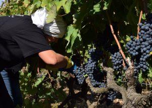 winemaker cuts black clusters of grapes in vineyards of the Feudi di Guagnano.