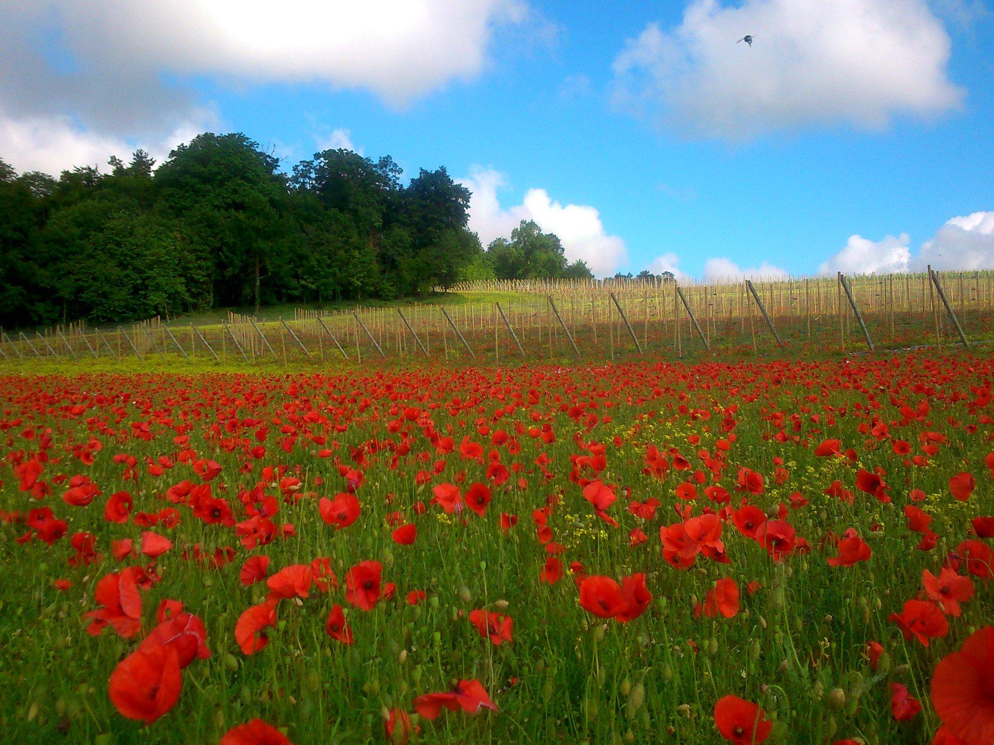Arpents du Soleil - Poppies flowers