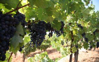 aurora winery ripe black grapes on vines on vineyard near winery
