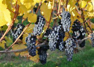 aurum wines amazing ripe black grapes on vine on vineyard near winery
