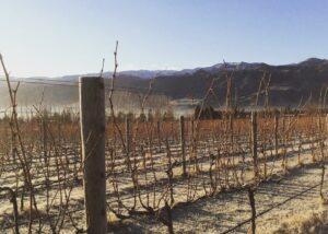 aurum wines beautiful slender rows of grapvines on vineyard near winery