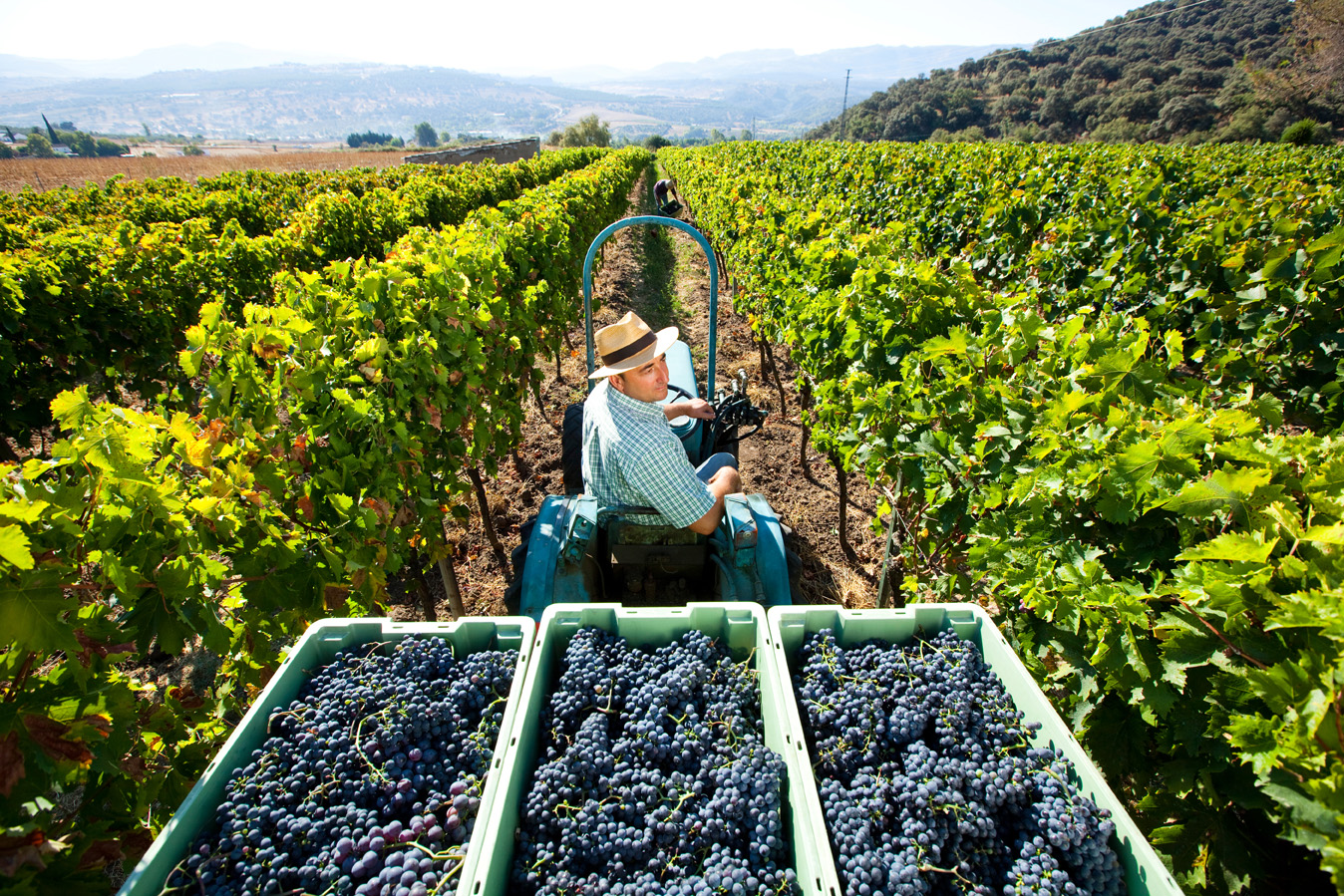 Bodega F. Schatz harvesting process at vineyard in Spain