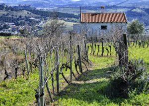 Bodega F. Schatz vineyard during cold season in Spain